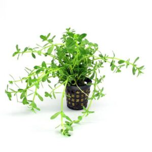 Gyvi augalai